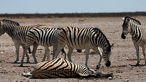 Group of BurchellÕs zebra (Equus quagga burchellii) gathering around a dead pregnant female that died due to complications whilst giving birth, Etosha National Park, Namibia. Part of a sequence.  -  Christophe Courteau