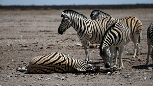 Group of BurchellÕs zebra (Equus quagga burchellii) gathering around a dead pregnant female that died due to complications whilst giving birth, with a stallion sniffing around her head, Etosha Nation...  -  Christophe Courteau