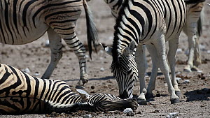 Male BurchellÕs zebra (Equus quagga burchellii) sniffing around the head of a dead pregnant female that died due to complications whilst giving birth, Etosha National Park, Namibia. Part of a sequenc...  -  Christophe Courteau