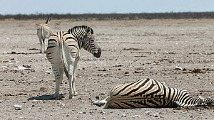Group of BurchellÕs zebra (Equus quagga burchellii) walking away from a dead pregnant female that died due to complications whilst giving birth, with a stallion standing nearby, Etosha National Park,...  -  Christophe Courteau