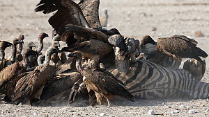 Group of African white-backed vultures (Gyps africanus) feeding on a dead female BurchellÕs zebra (Equus quagga burchellii) that died due to complications giving birth, Etosha National Park, Namibia....  -  Christophe Courteau