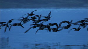 Barnacle geese (Branta leucopsis) in flight over the sea at dusk, Islay, Inner Hebrides, Scotland, UK, November.  -  John & Mary-Lou Aitchison