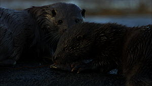 Female European otter (Lutra lutra) with a cub trying to eat a fish, Scotland, UK, November.  -  John & Mary-Lou Aitchison