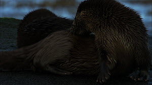 Female European otter (Lutra lutra) grooming on a rock, with her cub in the background, Scotland, UK, November.  -  John & Mary-Lou Aitchison