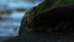 Juvenile European otter (Lutra lutra) sniffing around on a rock then goes into water, Scotland, UK, November.  -  John & Mary-Lou Aitchison