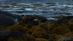 European otter (Lutra lutra) running along rock with fish prey in its mouth, Scotland, UK, November.  -  John & Mary-Lou Aitchison