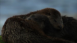 Female European otter (Lutra lutra) on a rock grooming her cub, Scotland, UK, November.  -  John & Mary-Lou Aitchison