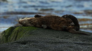 Female European otter (Lutra lutra) rolling over on a rock and scent marking and letting her cub groom her, Scotland, UK, November.  -  John & Mary-Lou Aitchison