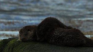 Female European otter (Lutra lutra) grooming her cub on a rock, Scotland, UK, November.  -  John & Mary-Lou Aitchison