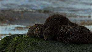 European otters (Lutra lutra) on a rock mother and cub sleeping, Scotland, UK, November.  -  John & Mary-Lou Aitchison