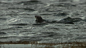 European otter (Lutra lutra) surfacing and diving just off the coast whilst fishing, Scotland, UK, November.  -  John & Mary-Lou Aitchison