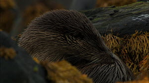 European otter (Lutra lutra) grooming amongst seaweed covered rocks, Scotland, UK, November.  -  John & Mary-Lou Aitchison