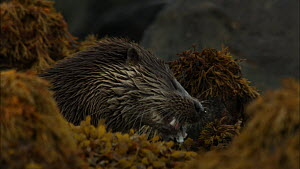 European otter (Lutra lutra) feeding on a fish amongst seaweed covered rocks, Scotland, UK, November.  -  John & Mary-Lou Aitchison