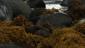 Juvenile European otter (Lutra lutra) feeding on a fish and grooming itself amongst rocks covered in seaweed, Scotland, UK, November.  -  John & Mary-Lou Aitchison