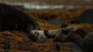 Female European otter (Lutra lutra) with her cub rolling in seaweed and playing, Scotland, UK, November.  -  John & Mary-Lou Aitchison