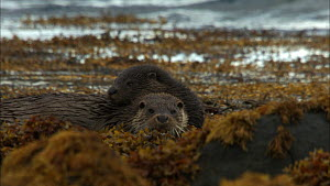 Female European otter (Lutra lutra) resting with her cub in seaweed, Scotland, UK, November.  -  John & Mary-Lou Aitchison