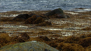Female European otter (Lutra lutra) with her cub swimming in seaweed, Scotland, UK, November.  -  John & Mary-Lou Aitchison