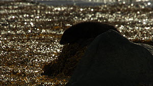 Female European otter (Lutra lutra) with her cub on a rock, Scotland, UK, November.  -  John & Mary-Lou Aitchison