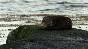 European otter (Lutra lutra) on a rock grooming itself and looking around, Scotland, UK, November.  -  John & Mary-Lou Aitchison