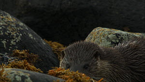 Female European otter (Lutra lutra) with a cub amongst rocks covered in seaweed, Scotland, UK, November.  -  John & Mary-Lou Aitchison