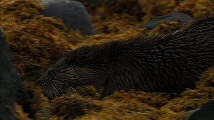 Female European otter (Lutra lutra) with cub moving amongst rocks covered in seaweed, Scotland, UK, November.  -  John & Mary-Lou Aitchison