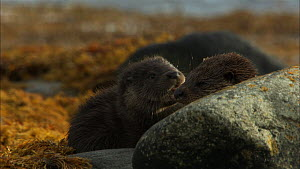 Female European otter (Lutra lutra) and cub settling to rest amongst seaweed covered rocks, Scotland, UK, November.  -  John & Mary-Lou Aitchison