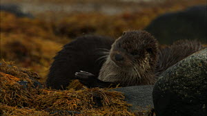 Female European otter (Lutra lutra) with cub, rolling and scent marking, Scotland, UK, November.  -  John & Mary-Lou Aitchison