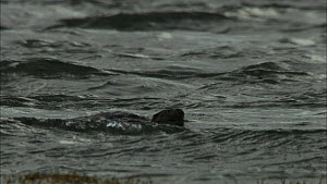 Female European otter (Lutra lutra) swimming with her cub, Scotland, UK, November.  -  John & Mary-Lou Aitchison
