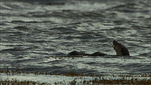 European otters (Lutra lutra) swimming, Scotland, UK, November.  -  John & Mary-Lou Aitchison