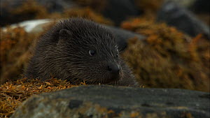 Close up of a female European otter (Lutra lutra) with her cub amongst rocks, Scotland, UK, November.  -  John & Mary-Lou Aitchison