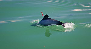 Maui's dolphin (Cephalorhynchus hectori maui) with skin biopsy dart used to obtain DNA profile, part of the New Zealand Department of Conservation's abundance survey. Critically Endangered, this is th...  -  Richard Robinson