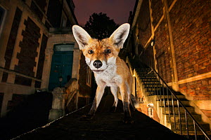 Young urban Red fox (Vulpes vulpes) standing on a wall at night. Bristol, UK, September. Nominated in the Melvita Nature Images Awards competition 2014. - Sam Hobson