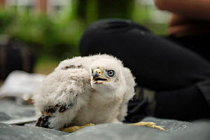 Northern goshawk (Accipiter gentilis) nestling ready to be ringed as part of urban goshawk colour ringing study. Berlin, Germany, May. Nominated in the Melvita Nature Images Awards competition 2014.  -  Sam Hobson