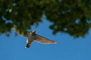 Northern goshawk (Accipiter gentilis) adult male in flight above tree canopy in urban cemetery, Berlin, Germany, March. Nominated in the Melvita Nature Images Awards competition 2014. - Sam Hobson
