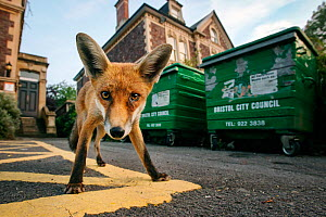 Young urban Red fox (Vulpes vulpes) standing in front of Bristol City Council dustbins. Bristol, UK, September.  -  Sam Hobson