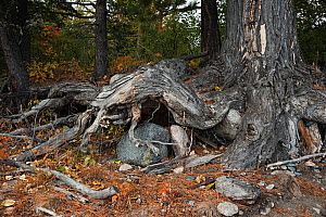 Tree with gnarled roots, 'Brown Bear Coast', Baikalo-Lensky Nature Reserve, Lake Baikal, Siberia, Russia, September 2013. - Olga Kamenskaya