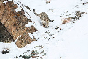 Snow leopard (Uncia uncia) walking down snow covered slope, Hemas National Park, Ladakh, India. Winner of the Long Lens catergory in the Melvita Nature Images Awards competition 2014.  -  Ben  Cranke