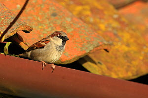 House sparrow (Passer domesticus) perched on gutter, Norfolk, UK, February.  -  Robin Chittenden