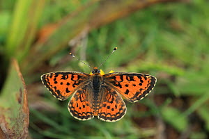 Lesser spotted fritillary (Melitaea trivia) Lesbos, Greece, May.  -  Robin Chittenden