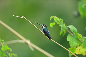 Long-billed starthroat (Heliomaster longirostris) perched, Trinidad and Tobago.  -  Robin Chittenden