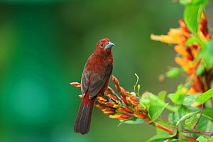 Silver-beaked tanager (Ramphocelus carbo) perched, Trinidad and Tobago.  -  Robin Chittenden