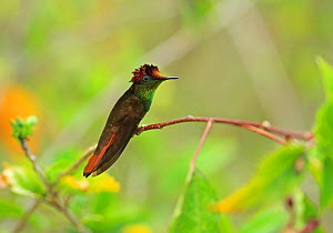 Ruby topaz (Chrysolampis mosquitus) perched, Trinidad and Tobago.  -  Robin Chittenden