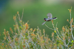 Eastern subalpine warbler (Sylvia cantillans) taking off, Lesbos, Greece, April. - Robin Chittenden