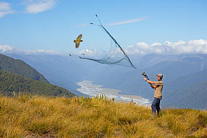 Researcher catching a flying Kea (Nestor notabilis) with net gun. Kea Research, South Island, New Zealand. January. Model released.Digital composite.  -  Andy  Trowbridge