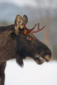Young Bull Moose (Alces alces) standing in snow, close-up portrait.  Nord-Trondelag, Norway. December.  -  Andy  Trowbridge