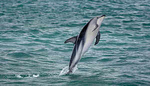 Dusky dolphin (Lagenorhynchus obscurus) leaping. Kaikoura, South Island, New Zealand. February.  -  Andy  Trowbridge