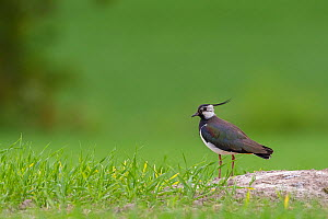 Northern Lapwing (Vanellus vanellus) adult in breeding plumage standing on sandy mound in crop field. Southern Norway. June.  -  Andy  Trowbridge