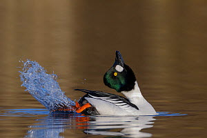 Common goldeneye (Bucephala clangula) male performing its mating display. Southern Norway. March. - Andy  Trowbridge