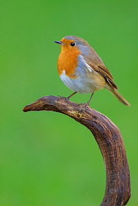 European Robin (Erithacus rubecula) perched on weathered branch. London, England, UK. December. - Andy  Trowbridge
