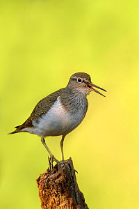 Common Sandpiper (Actitis hypoleucos) perched on stump calling. Tomter, Southern Norway. July. - Andy Trowbridge